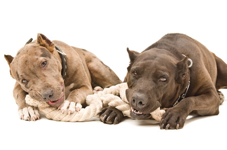 gnaw: Two pit bull lying together gnaw rope Stock Photo
