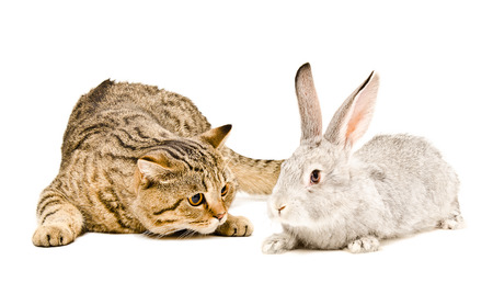 Scottish Straight cat and rabbit together isolated on white background photo