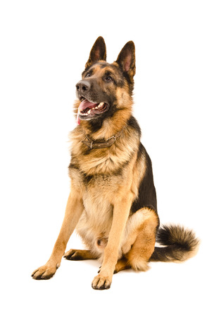 German Shepherd sitting looking up isolated on white background photo