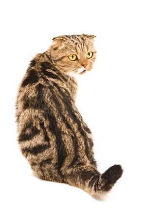 fold back: Scottish Fold cat sitting back isolated on white background