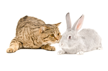 Scottish Straight cat sniffing gray rabbit isolated on white background photo