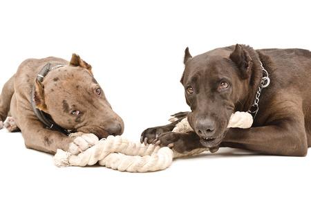gnaw: Two pitbull lying gnaw rope isolated on white background