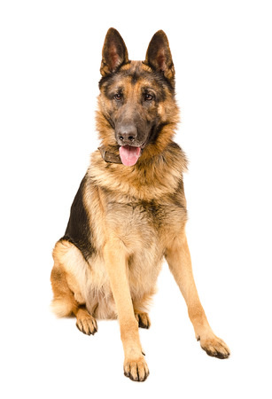 German Shepherd dog sitting isolated on a white background