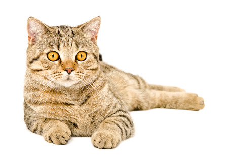 Young cat Scottish Straight lying isolated on white background