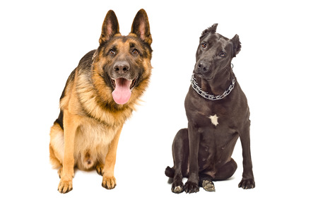 Portrait of two curious dogs breed German shepherd and Staffordshire Terrier photo