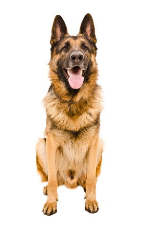 Portrait of a German Shepherd sitting isolated on white background Stockfoto
