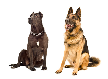 Staffordshire Terrier and German Shepherd sitting together looking up photo