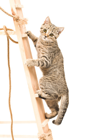 Kitten Scottish Straight climbing the wooden stairs Stock Photo