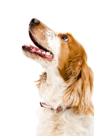 Russian spaniel portrait close-up looking up isolated on white background Stockfoto