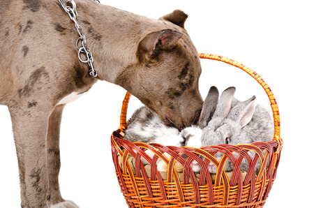 Dog breed pitbull sniffing rabbit sitting in the basket photo