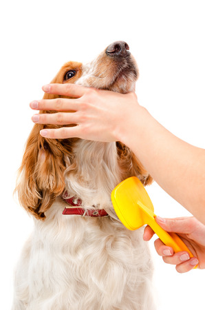 combing: Combing dog breed Russian Spaniel isolated on white background