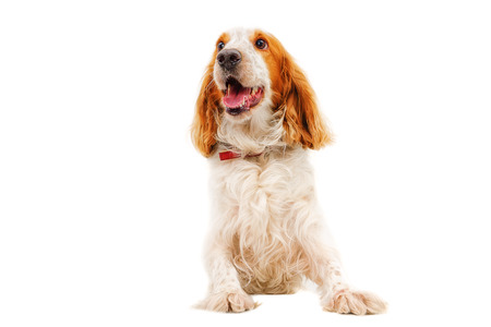 hunting cocker spaniel: Portrait of a dog breed Russian Spaniel sitting isolated on white background