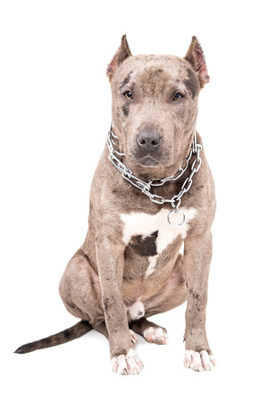 Portrait of a dog breed  pit bull  sitting isolated on white background