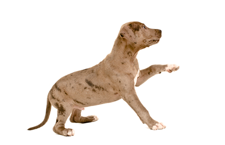 Cute puppy pit bull standing with a raised paw side view isolated on white background
