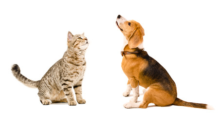 Curious cat Scottish Straight and beagle dog sitting together isolated on white background photo