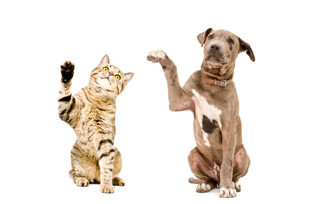 Cat Scottish Straight and pit bull puppy sitting together with raised paws isolated on white background