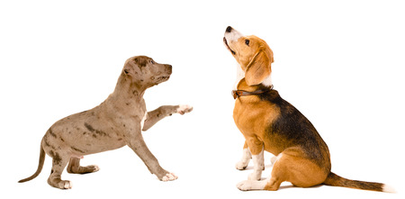 Beagle dog and puppy pit bull together isolated on white background