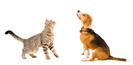 Curious beagle dog  and  cat Scottish Straight together isolated on white background