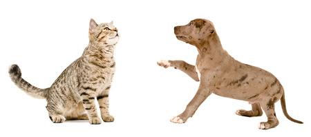 scottish straight: Curious cat Scottish Straight and puppy pit bull together isolated on white background