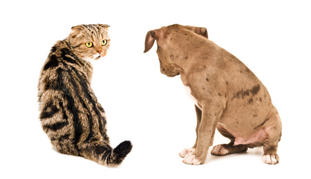 Scottish Fold cat and puppy pit bull sitting looking at each other isolated on white background photo