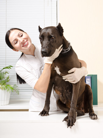 staffordshire: Staffordshire Terrier on inspection at the veterinarian Stock Photo