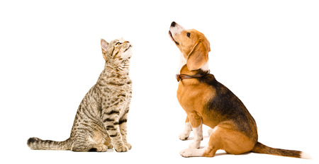 cat: Cat Scottish Straight and beagle dog sitting together looking up isolated on white background