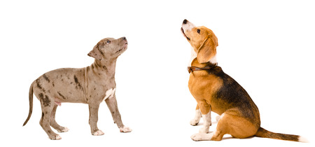 Curious puppy pit bull and beagle dog together isolated on white background photo