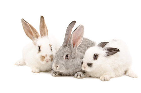 Three rabbit sitting together isolated on white background