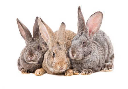 conejo: Tres conejo sentado junto aislados en fondo blanco