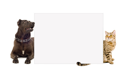 Dog breed Staffordshire terrier and cat Scottish straight behind a banner isolated on white background photo