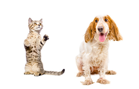 Playful kitten Scottish Straight and dog breed Russian Spaniel isolated on white background Stock fotó