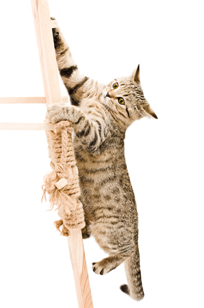 scottish straight: Funny kitten Scottish Straight climbing the wooden stairs isolated on white background