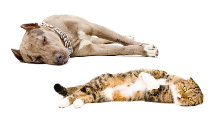 Scottish Fold cat and puppy pit bull sleeping together isolated on white background photo