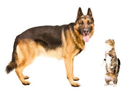 German Shepherd dog and cat Scottish fold standing together isolated on white background photo