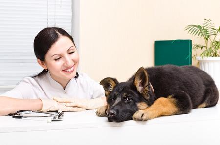 German Shepherd puppy at the vet photo