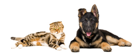 German Shepherd puppy and cat Scottish Fold lying together isolated on white background photo