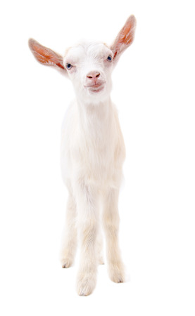 Portrait of a little white goat in full length isolated on white background
