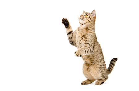 Playful cat Scottish Straight standing on his hind legs isolated on a white background Stockfoto
