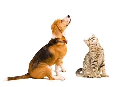 白い背景の面白いビーグル犬と猫一緒に座ってまっすぐスコットランド分離 写真素材