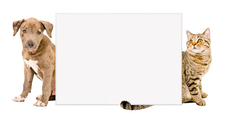 Pit bull puppy and cat Scottish Straight sitting behind a poster isolated on white background