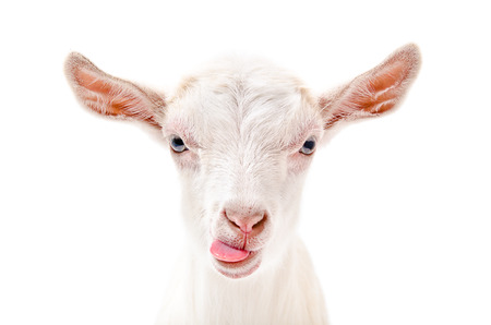 funny animal: Portrait of a goat showing tongue, close-up, isolated on white background Stock Photo