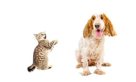 frisky: Frisky kitten Scottish Straight and funny dog breed Russian Spaniel isolated on a white background Stock Photo