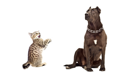 frisky: Dog breed Staffordshire Terrier and frisky kitten Scottish Straight isolated on white background