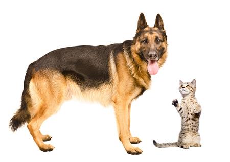 frisky: German Shepherd dog and frisky cat Scottish Straight standing together isolated on white background