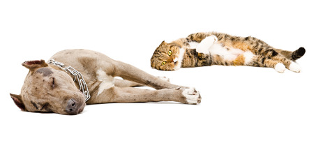 Dog breed pit bull and Scottish Fold cat sleeping together isolated on white background photo