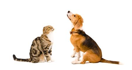 Beagle dog and cat Scottish Fold sitting together isolated on white background photo