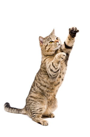 Portrait of a frisky playful cat Scottish Straight standing on his hind legs isolated on a white background