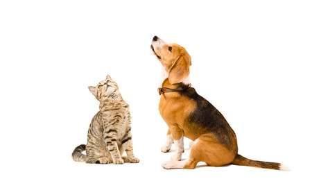 Funny cat Scottish Straight and a beagle dog sitting together isolated on white background