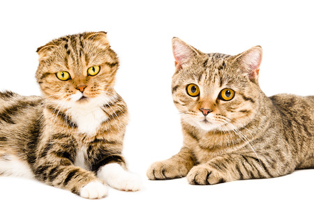 scottish straight: Portrait of two cats Scottish Fold and Scottish Straight lying together isolated on white background