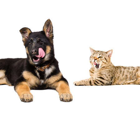 Portrait of a German Shepherd puppy and cat Scottish Straight licking together close-up isolated on white background